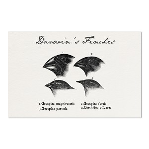 "Darwin's Finches Drawings 11"" x 17"" Poster"